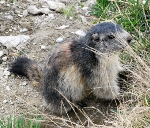 Picture of a local marmot